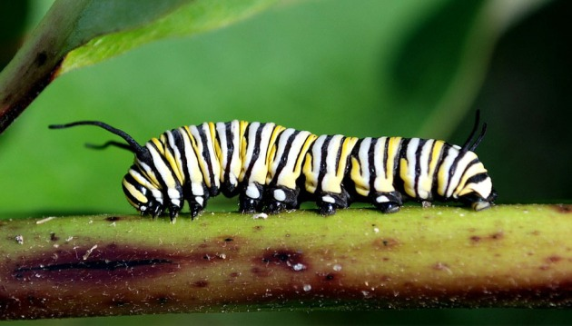 Monarch caterpillar, photo from EduPic Images.